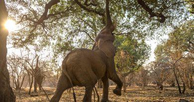 Cvičení jógy zvládne i elegantní slon ze Zimbabwe