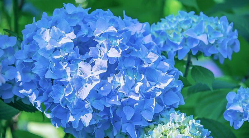 Kdy a jak hnojit hortenzie pro bujnější květy a zdravé listy