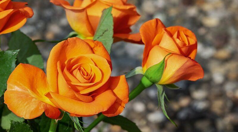 Jednoduché tipy na přípravu zahradní půdy pro pěstování růží a výživa pro růže