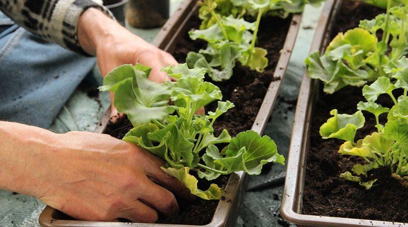 Druhy zeleniny které dobře rostou v truhlících a květináčích