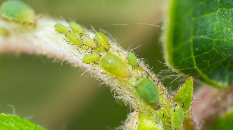 Jak snadno odstranit mšice na pokojové rostlině a prevence