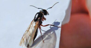 Co jsou létající mravenci, hubení a jak se zbavit mravenců