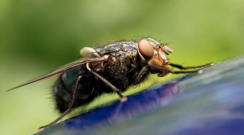 Mouchy v domácnosti a jak se zbavit much, hubení a likvidace