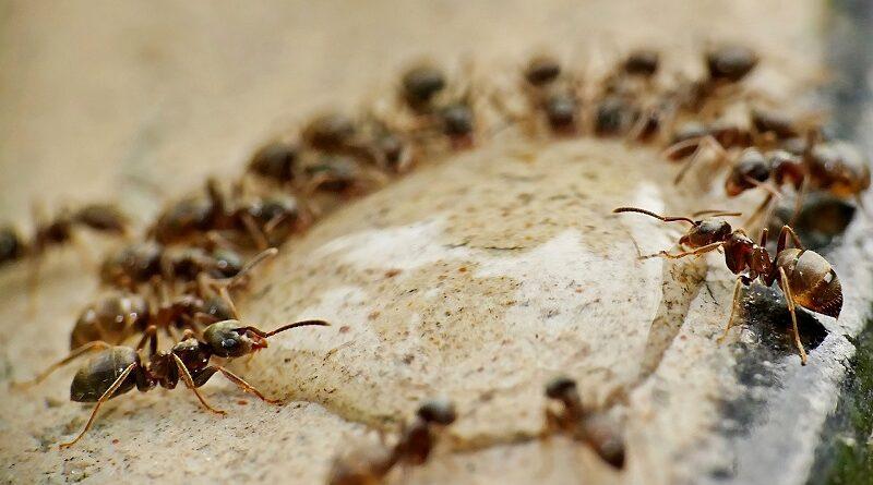 Osvědčené tipy a triky na hubení mravenců přírodním způsobem